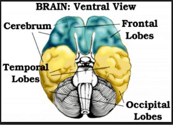 brain trial leopold loebe